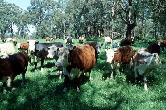 Herd of cattle. Attribution: CSIRO