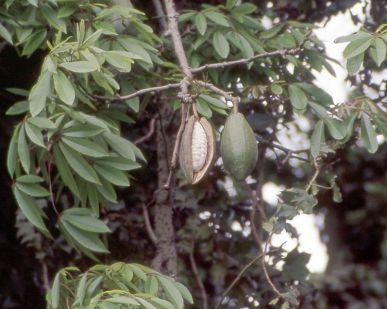 751px-Kapok_tree-pod
