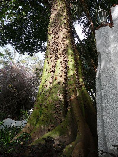 Ceiba_pentandra_0004