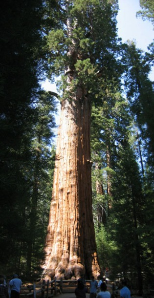 Redwood_large_sherman