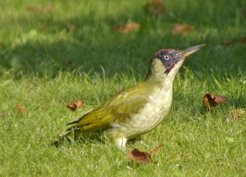 Green Woodpecker. Wikimedia Commons. Source: geograph.org.uk. Author: Christine Matthews.