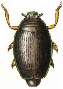 Whirligig beetle, Gyrinus natador. Author Edmund Reitter 91845-19209