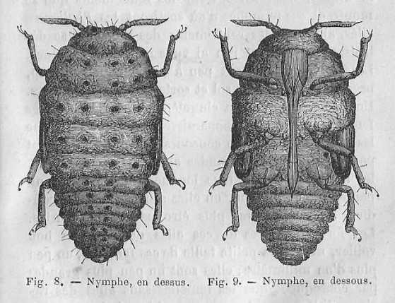 Phylloxera nymphs. Author: maurice Girad. Public Domain.