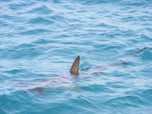 shark-fin-472685_640