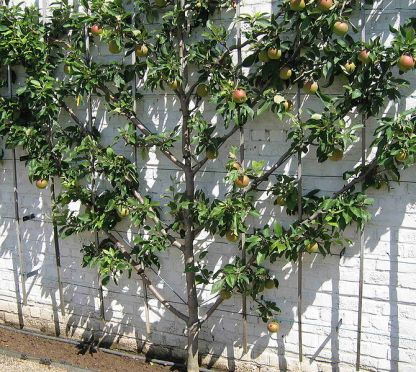 Espaliered fruit tree at Gaaskeek. Author: KVDB. Public Domain