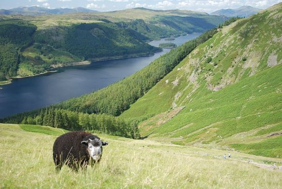 A Herdwick sheep grazing above Thirlmere. Author: Sara Blaxkova. Commons