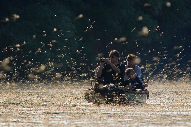 Mayfly swarming on Tisza Author: Kovacs,sziland. Commons