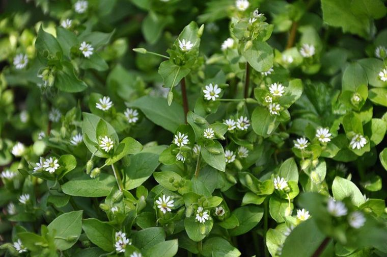 Stellaria Media Common Chickweed. Author: Lazaregadnizda. Wikimedia Commons