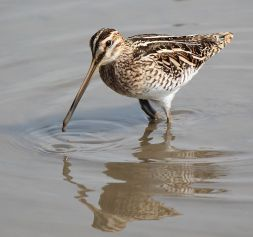 Common Snipe. Author: Alpsdake. Commons