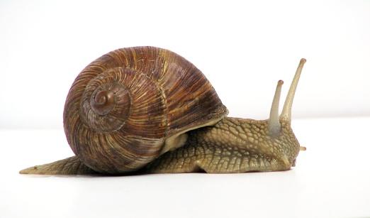 Grapevine Snail by Jurgen Schoner