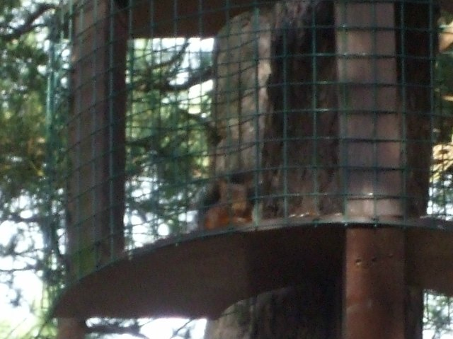 020 Red Squirrel 2