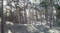 106 Scots Pines