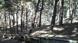 108 Scots Pines