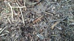 112 Pine Cones and Needles