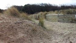 130 Marram Grass and Shrubs on the Dunes