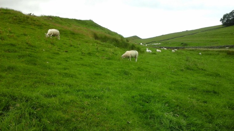 Sheep around Hadrian's Wall
