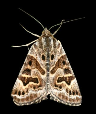 Mother Shipton Moth 2
