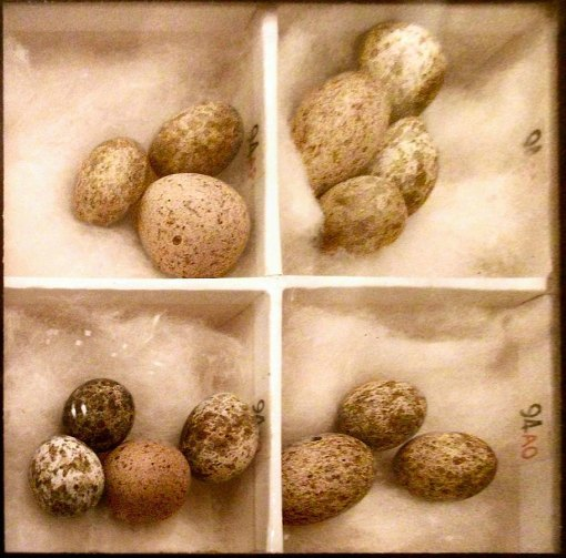 Cuckoo eggs and reed warbler eggs