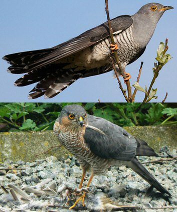 Euopean Cuckoo and Sparrowhawk
