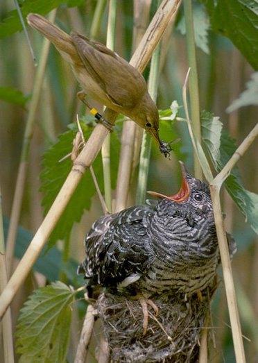 Reedwarbler feeding cuckoo chick