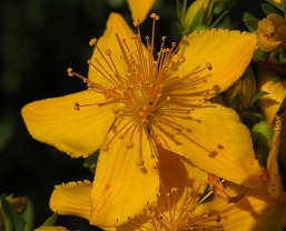 St John's Wort. Author: Michael H Lemmer. Creative Commons