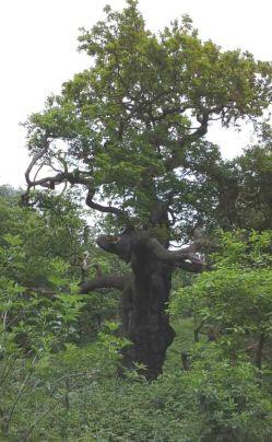 Old Oak 1 +