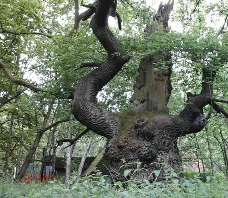 Old Oak 10 +