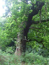 Old Oak 5 +
