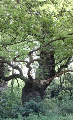 Old Oak 8 +