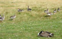Geese at Sudbury