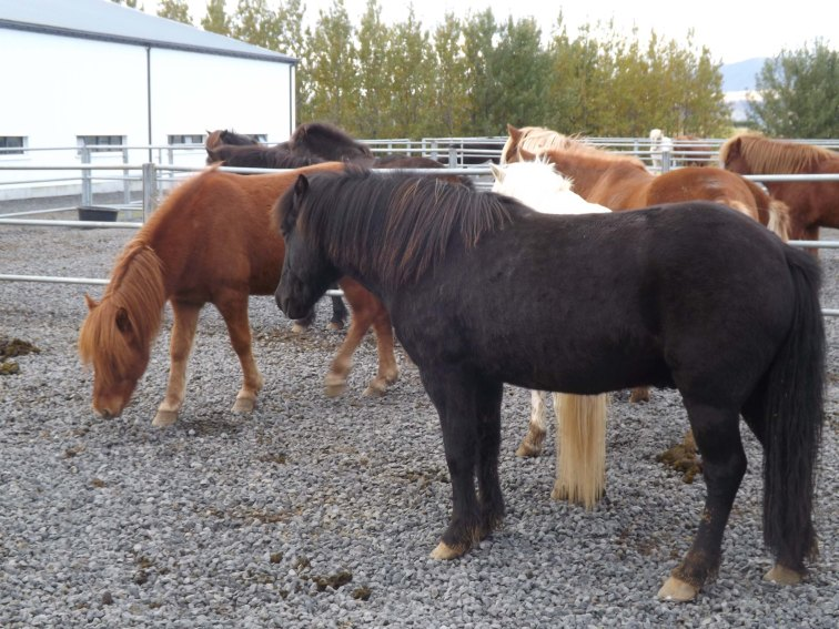Icelandic horses are strong, sturdy but short, but are not referred to as ponies. They were bred on Iceland from breeds fetched over with the original Norwegian settlers.