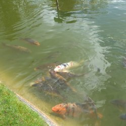 carp-at-burnby-gardens-1