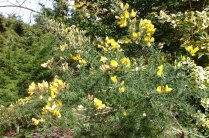 gorse-ay-burnby-in-april
