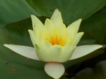 water-lily-2-burnby