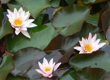 water-lily-4-burnby-july