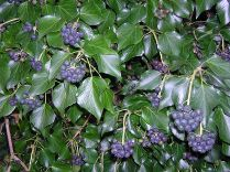 Hedera hibernica (Atlantic or Irish ivy) with berries in Hertfordshire UK in February. Author: Michael Maggs. Creative Commons