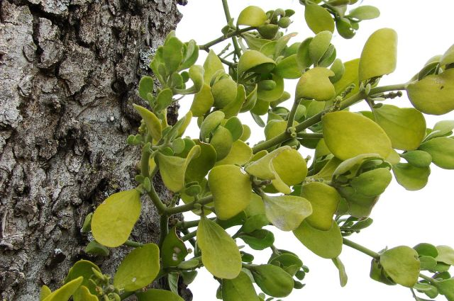 Eastern Mistletoe (Phoradendron leucarpum) in Northeast Texas. Author: Loadmaster (David R. Tribble). Creative Commons