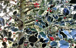 Close up of variegated holly tree in the garden