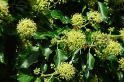 Hedera helix (Common ivy/English ivy/European ivy. When ivy flowers in September it is immediately crowded with bees and other nectar seekers. Source: Geograph.org.uk. Author:Alan Flyer. Creative Commons