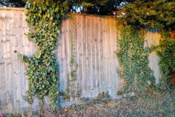ivy-growing-up-fence
