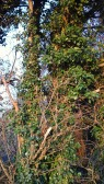 ivy-growing-up-tree-trunk-2