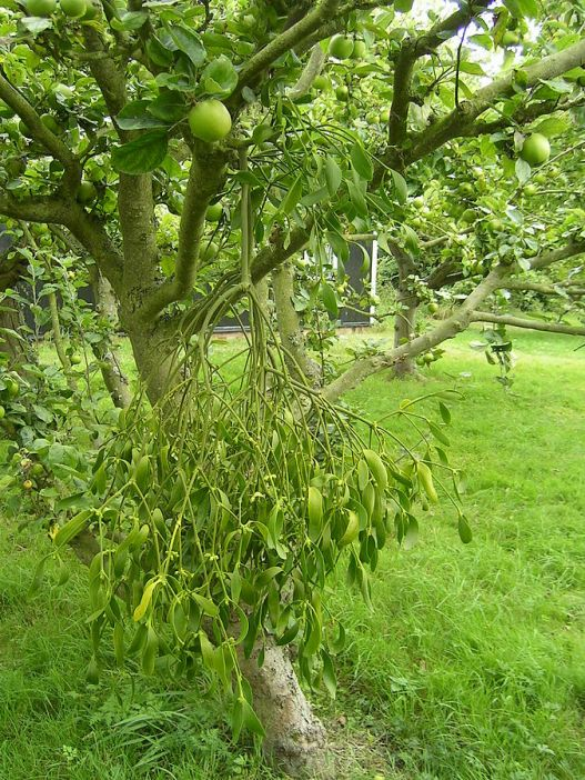 European Mistletoe on an apple tree in Essex, England. Author: Chilepine. Public Domain