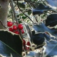 The Holly and the Ivy ... and a Little Sprig of Mistletoe
