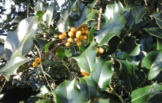 Close-up of yellow holly berries