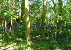 Bluebells in Woods alongside wildflower meadow