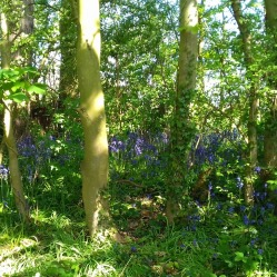 Bluebells in Woods alongside wildflower meadow
