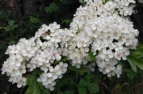 Close up of white hawthorn blossom