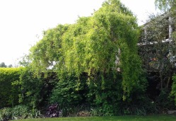 Corkscrew willow at the bottom of the garden. May 217