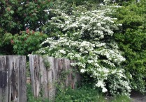 Hawthorn blossom next to pink horse chestnut, Early May 2017