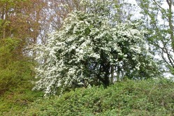 Hawthorn tree on the edge of the woods